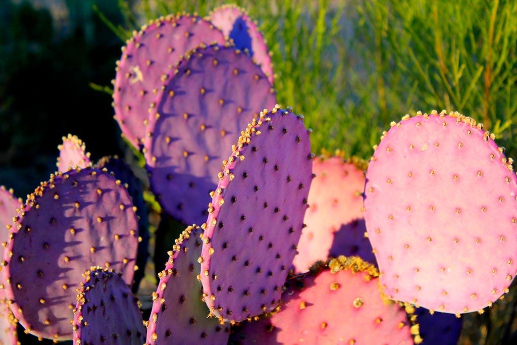 Ein violetter Kaktus Nopal