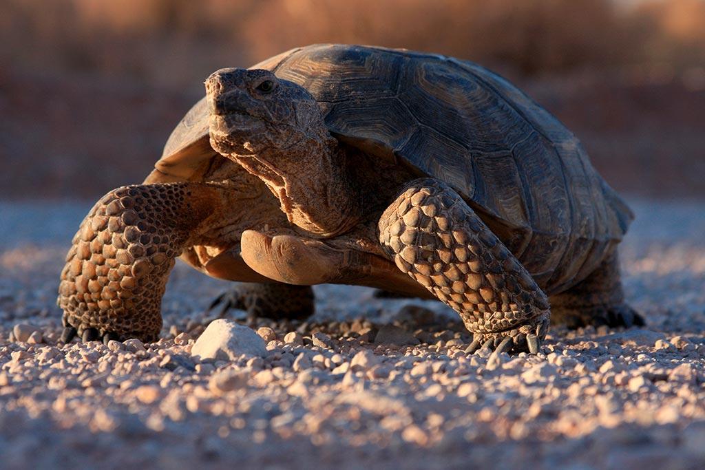 Eine Wüstenschildkröte